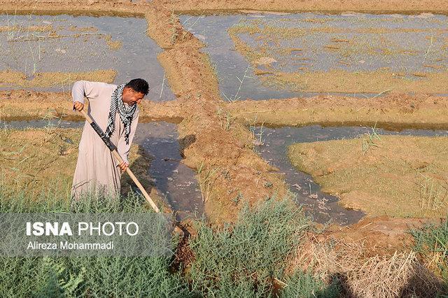 اما و اگرهای کشت پاییزه در خوزستان