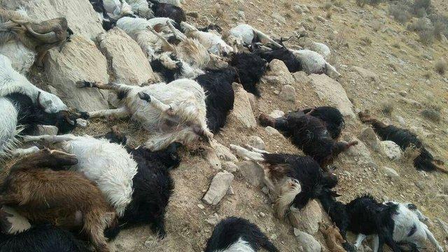تلف شدن 500 دام در صالح آباد